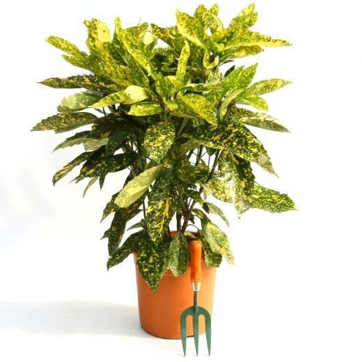 Аукуба японская 'Crotonifolia' (Aucuba japonica)