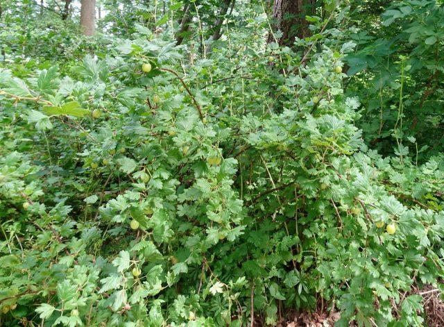 Крыжовник (Ribes uva-crispa)