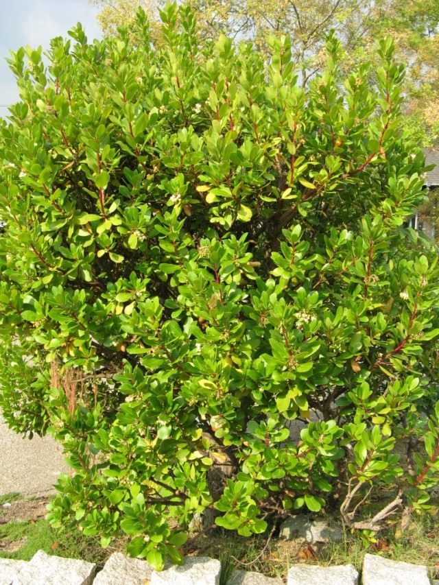 Земляничное дерево, или Земляничник