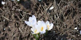 Крокусы, апрель 2011