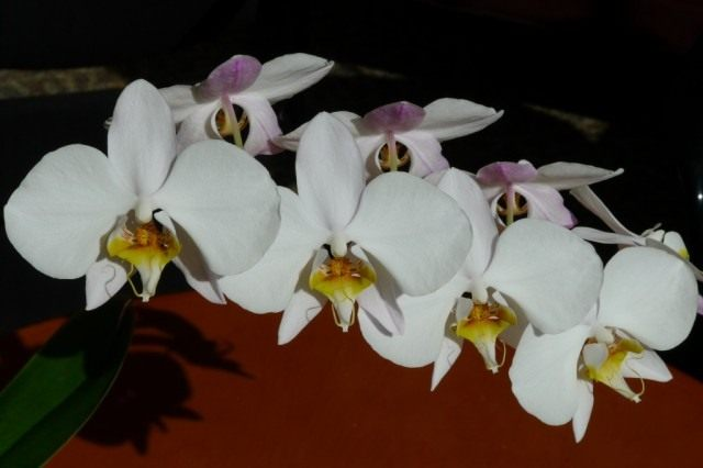 Фаленопсис приятный, или фаленопсис прелестный (Phalaenopsis amabilis)