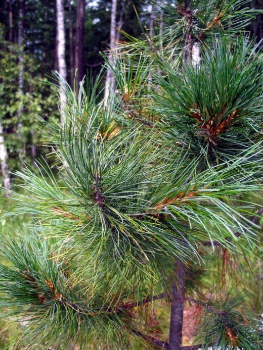 Сосна сибирская кедровая (лат. Pinus sibirica)