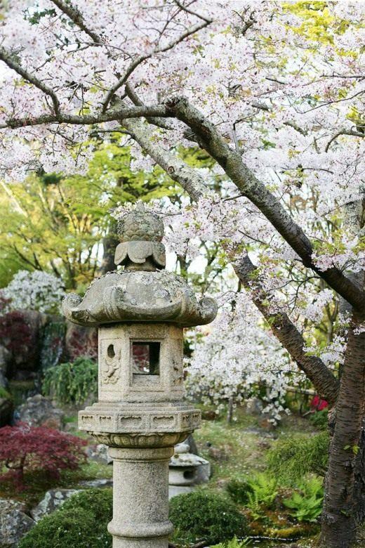 Цветущая вишня в китайском саду