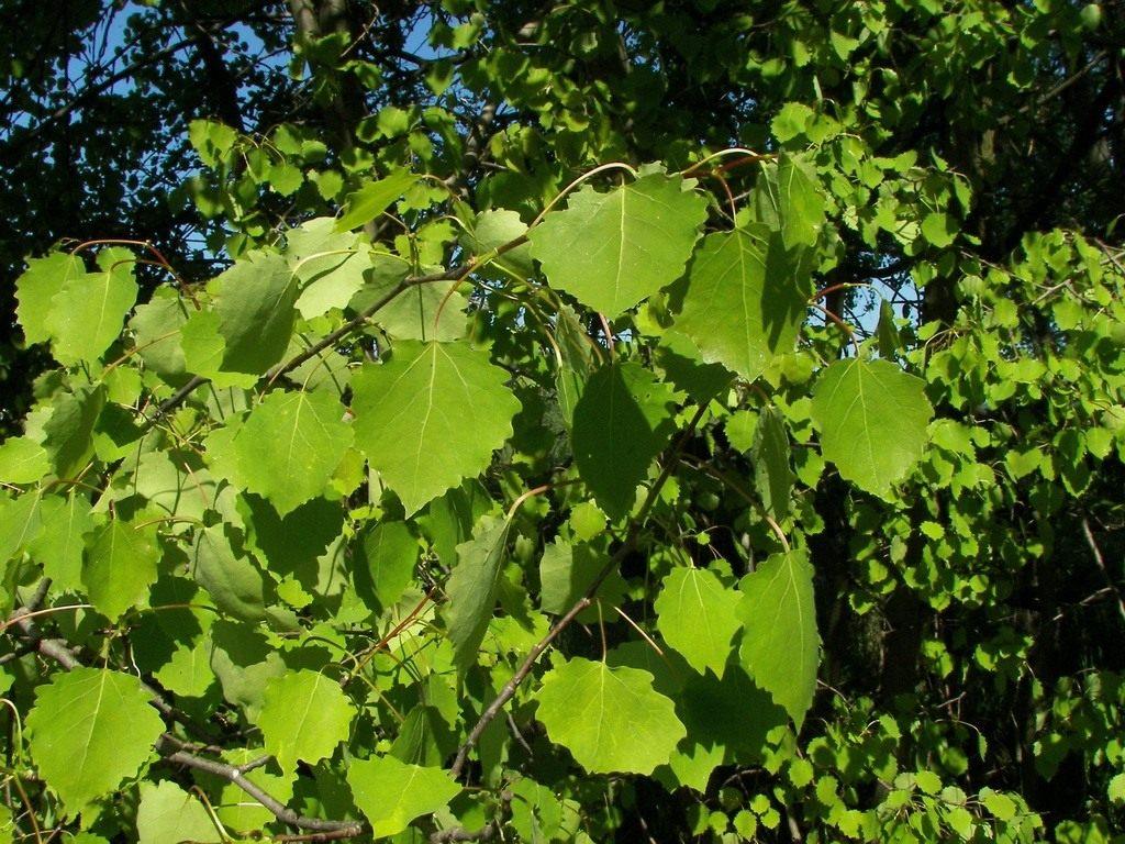 картинки осинового дерева помощью ритуала