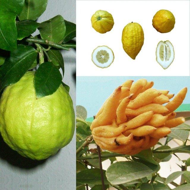 Цитрон (Citron)