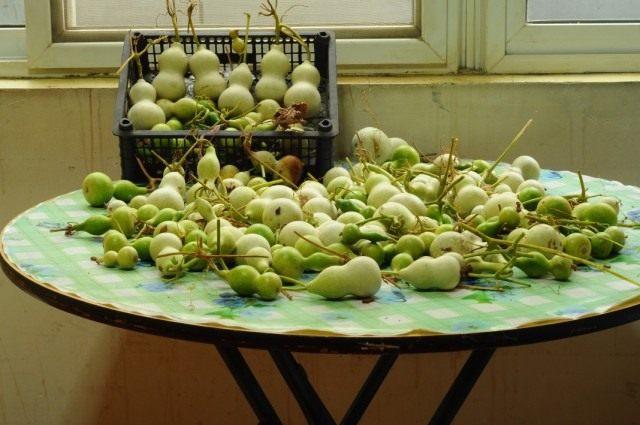 Молодые плоды лагенарии