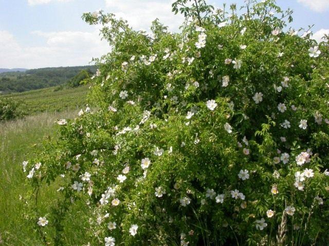 Шиповник собачий, или Роза собачья, или Роза канина (Rosa canina)