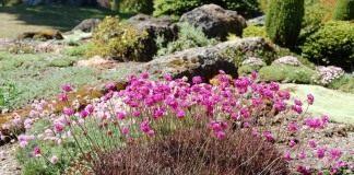 Армерия приморская (Armeria maritima)