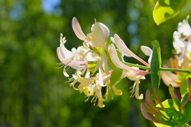 Каприфоль, или Жимолость каприфоль (Lonicera caprifolium)