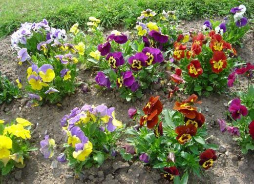 Виола Виттрока, Фиалка садовая (Viola Wittrockiana)