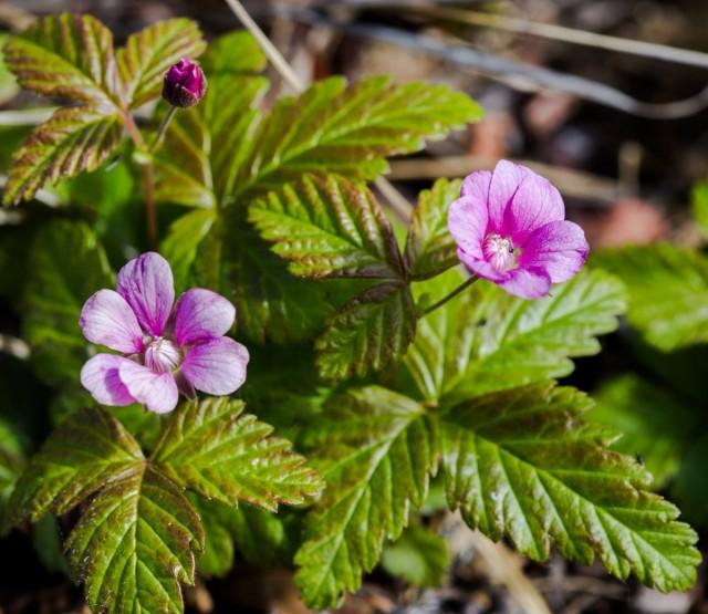 Княженика обыкновенная (лат. Rubus arcticus)