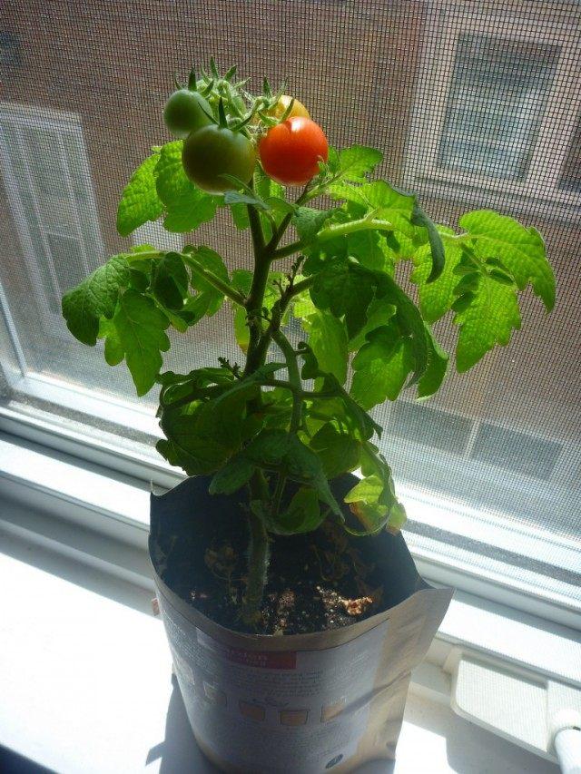 Томат, выращиваемый на подоконнике