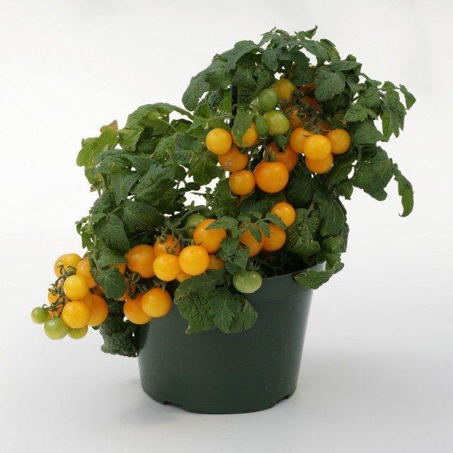 Низкорослый томат в горшке