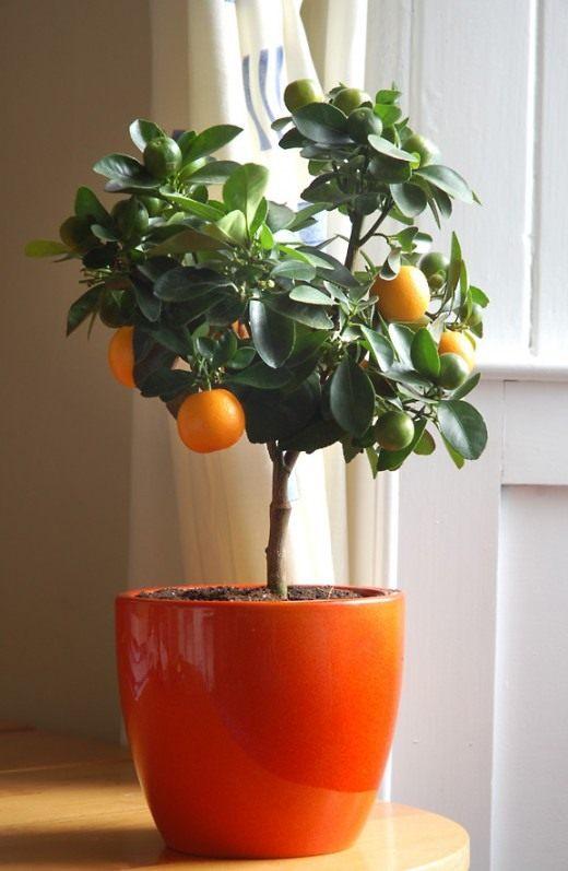 Цитрусовое дерево (Citrus tree)