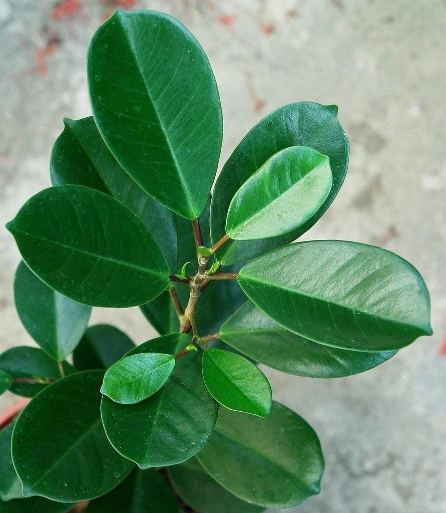 Комнатные растения названия фикус