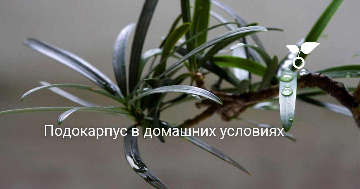 Как вырастить подокарпус из семян. Рекомендации по уходу