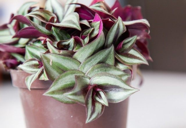 Традесканция висячая, или Зебрина висячая (Tradescantia zebrina, syn. Zebrina pendula)