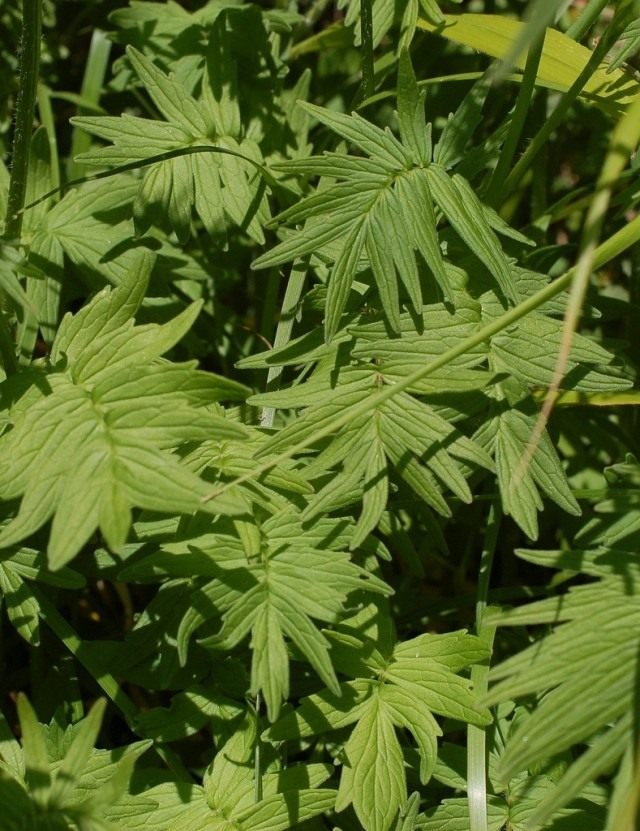Листья валерианы лекарственной