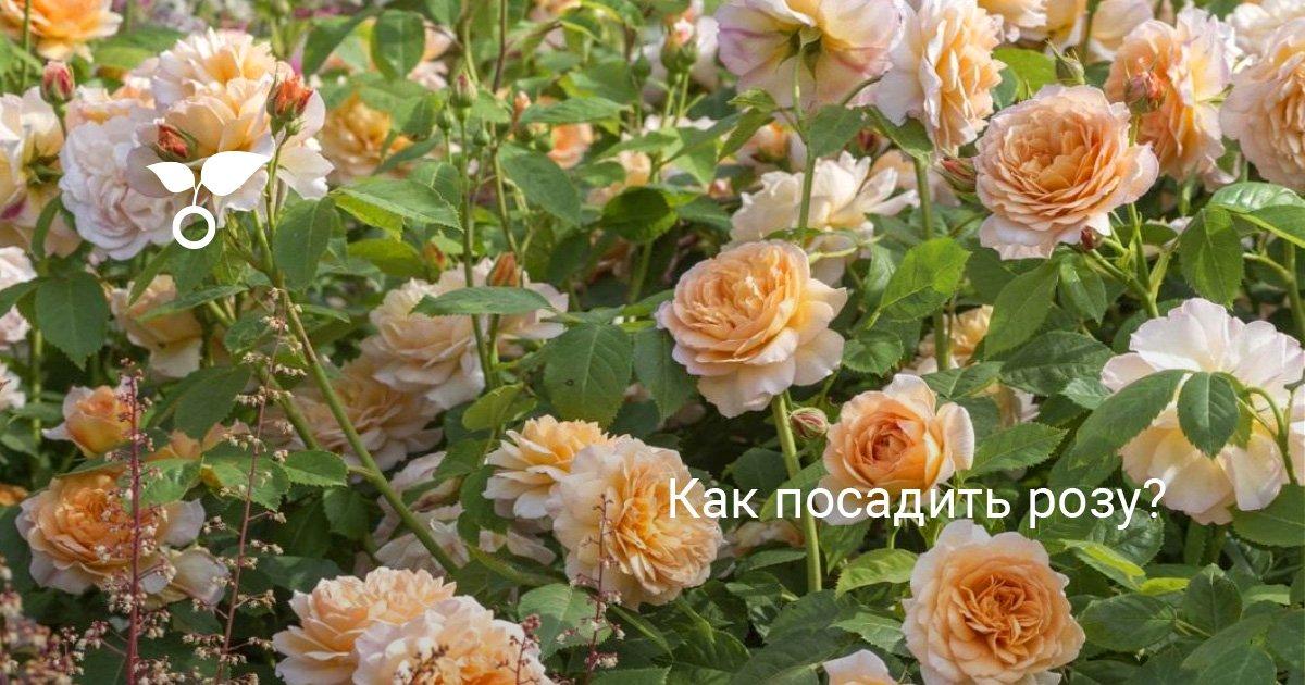 Как посадить розу с корнями