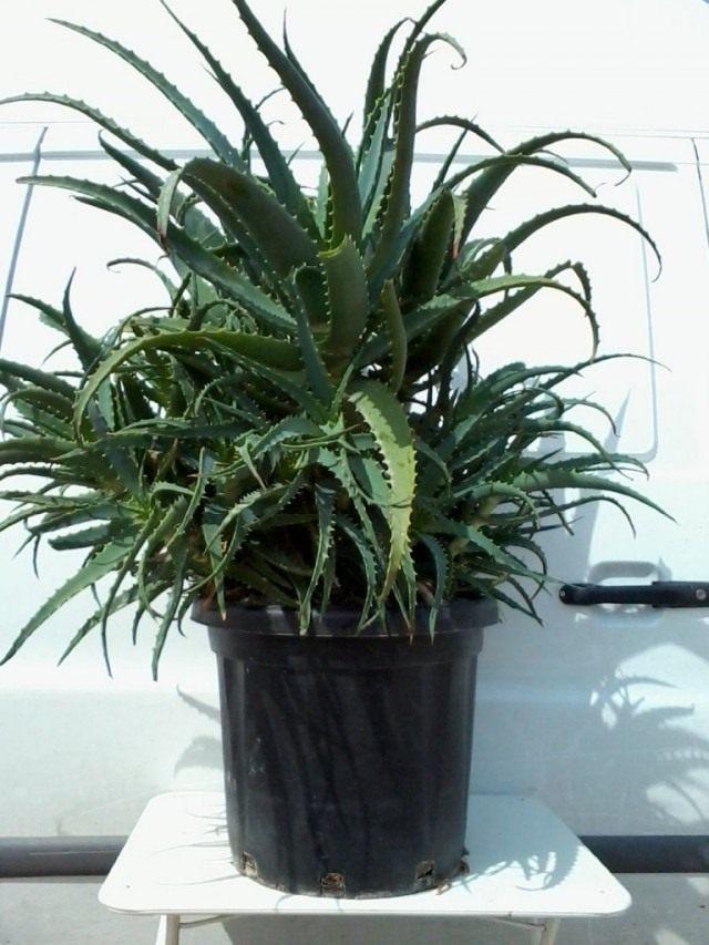 Алоэ древовидное (Aloe arborescens), или столетник