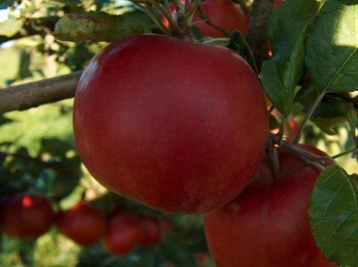 Яблоки (Apples)
