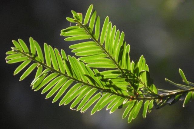 Ядовитые растения. Хвоя тиса ягодного (Taxus baccata)