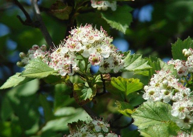 Соцветия и листья боярышника кроваво-красного