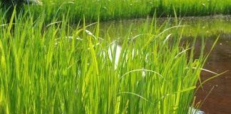 Аир обыкновенный, или Аир болотный, или Аир тростниковый, или Ирный корень (Acorus calamus)