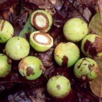 Африканский грецкий орех, или Коула съедобная (Coula edulis)