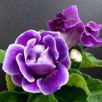 Глоксиния, или Синнингия красивая
