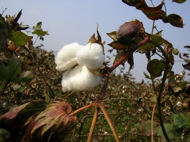Растение хлопок- фото, рекомендации по выращиванию из семян, фото цветка хлопок