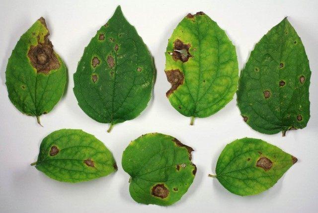 Аскохитоз (Ascochyta)