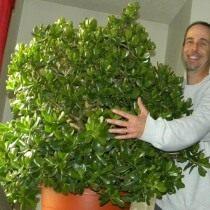 Шестилетнее денежное дерево в слишком большом горшке