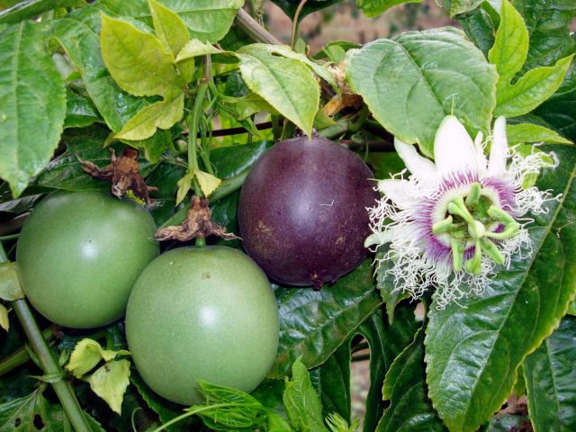 Маракуйя, или Страстоцвет съедобный, или Пассифлора съедобная, или Гранадилла пурпурная (Passion fruit)