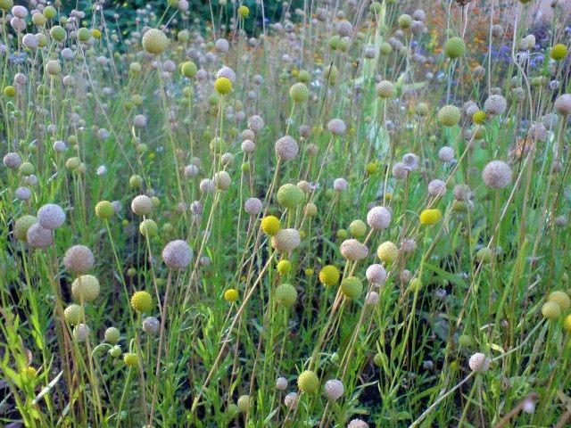 Цефалофора — земляничная трава