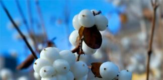Снежноягодник белый, или Снежноягодник кистистый (Symphoricarpos albus)