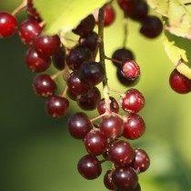 Плоды черёмухи виргинской