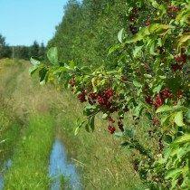 Черёмуха виргинская с плодами