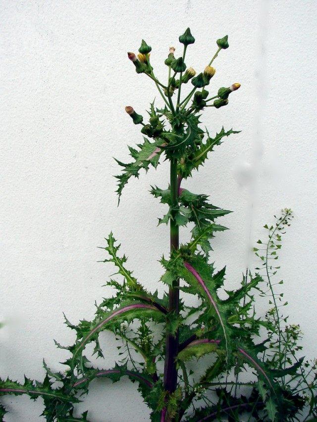 Осот шероховатый, или шершавый (Sonchus asper)