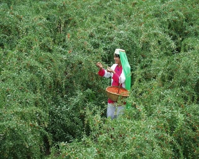 Сбор ягод Годжи, или Дерезы обыкновенной (Lycium barbarum)