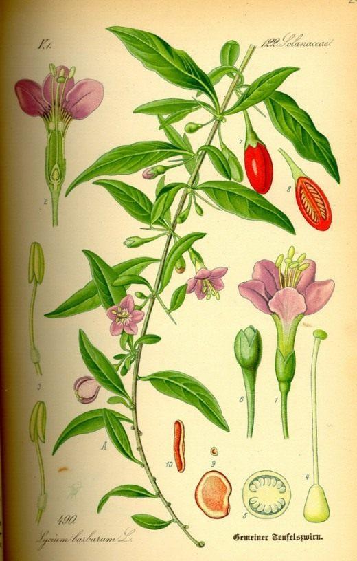 Дереза обыкновенная. Ботаническая иллюстрация из книги О. В. Томе «Flora von Deutschland, Österreich und der Schweiz», 1885