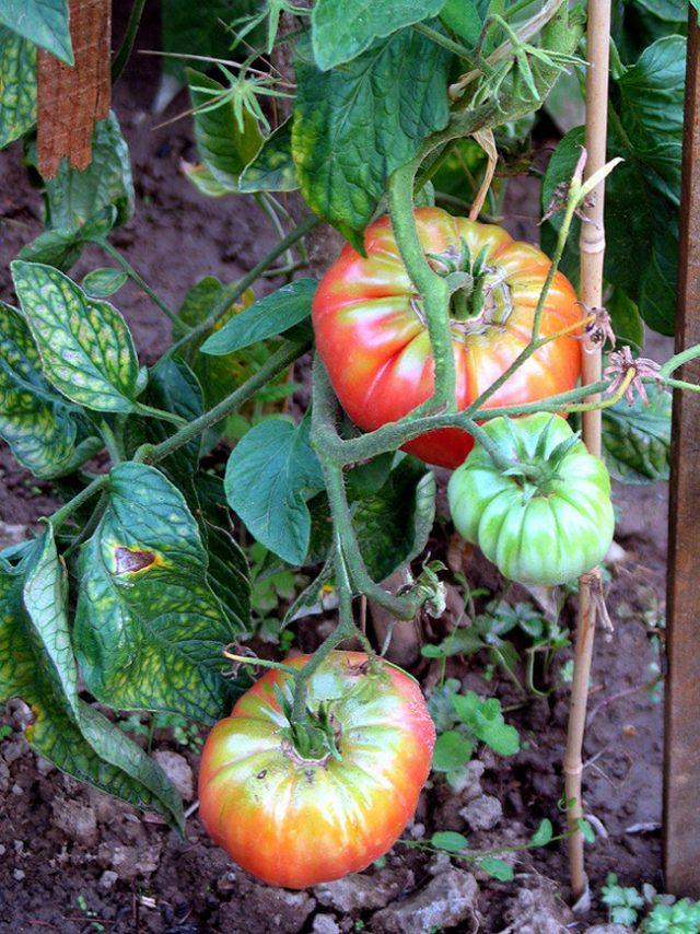 Созревание томатов