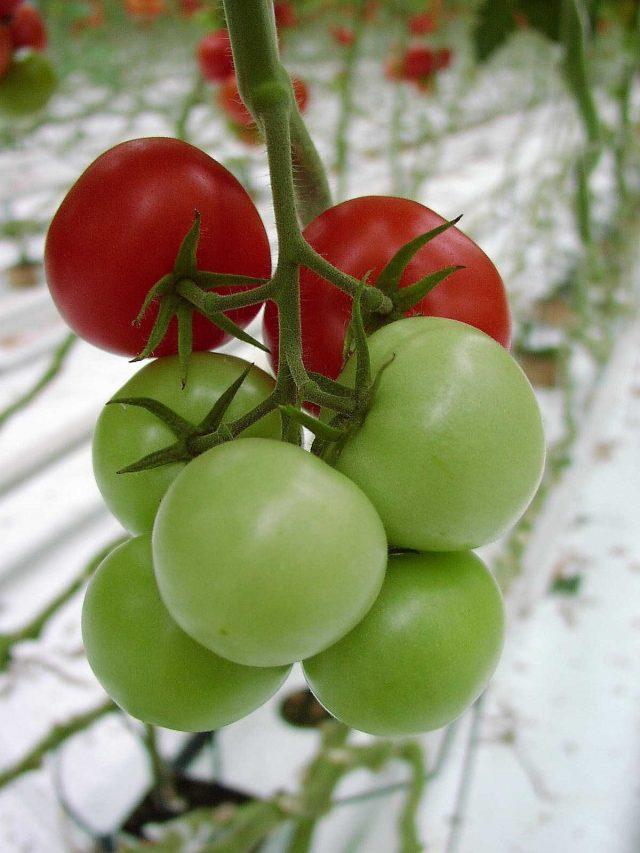 Равномерно созревающие томаты