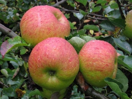 Яблоки сорта Брамли