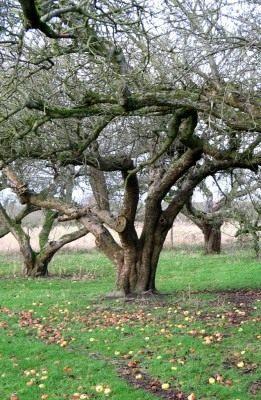 Старый фруктовый сад