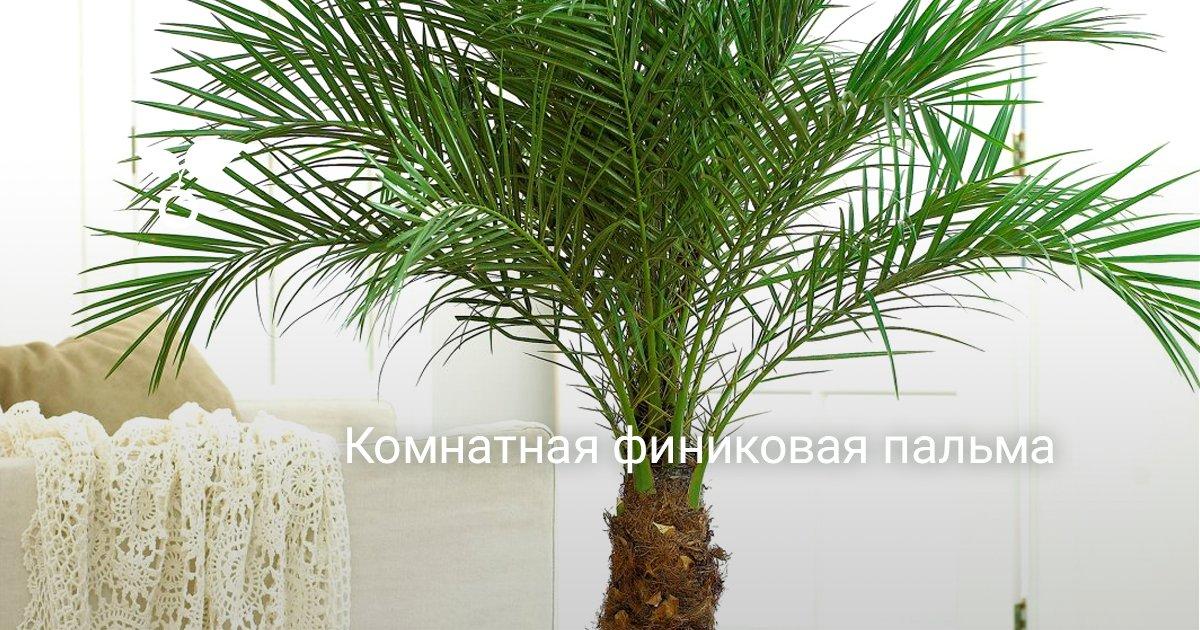 Корневая система финиковой пальмы