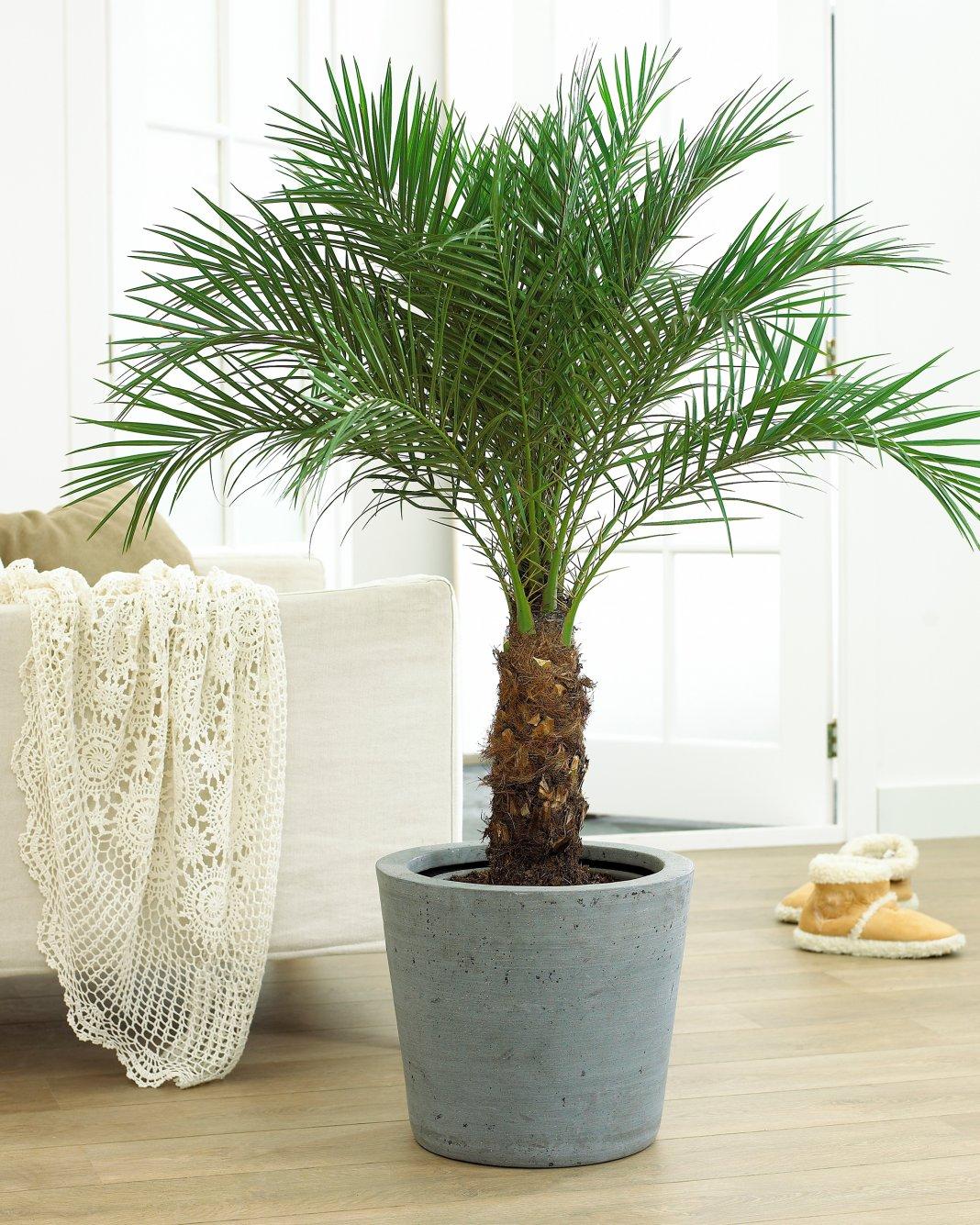 удобрение для финиковой пальмы