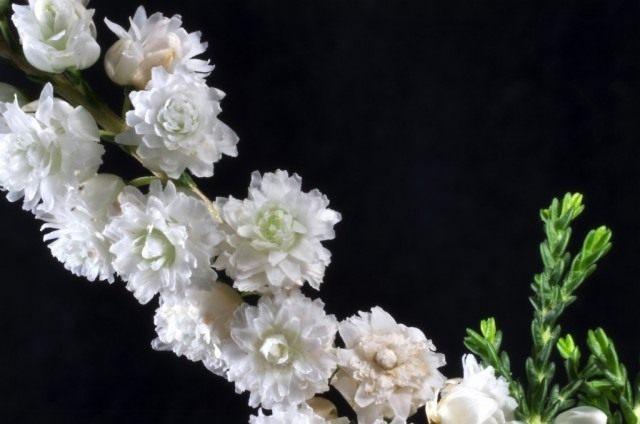 Цветы вереска, сорт 'Kinlochruel'