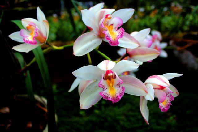Орхидея — самая приспособленная группа растений на земле