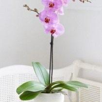 Орхидея «фаленопсис»